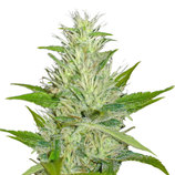 Medical-seeds-malakoff