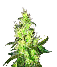 Medical Seeds Sour Diesel