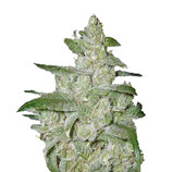 Medical-seeds-white-widow