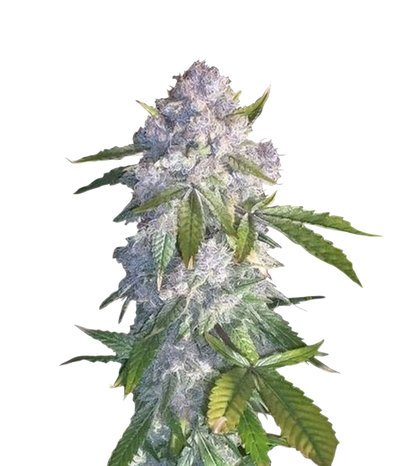 Purple Wreck