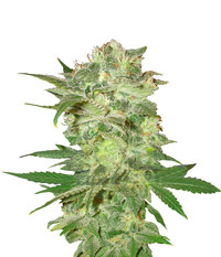 World of Seeds Mazar Kush