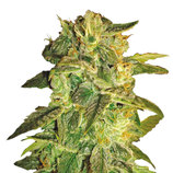 World-of-seeds-sugar-mango-ryder