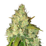 Delicious-seeds-black-russian