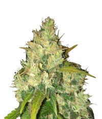 Delicious Seeds Black Russian