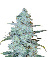 Delicious Seeds Critical Jack Herer