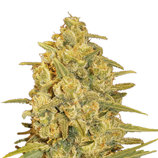 Delicious-seeds-critical-sensi-star
