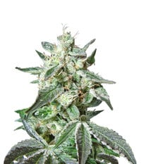 Sweet Seeds Black Jack Fast Version