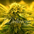Delicious-seeds-sugar-black-rose-auto