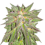 Barney-s-farm-cbd-critical-cure