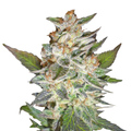 Delicious-seeds-delicious-candy-auto