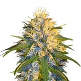 Dna-genetics-super-cannalope