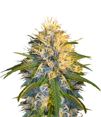 DNA Genetics Super Cannalope