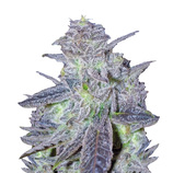 Medical-seeds-hammerhead