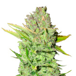 Medical-seeds-devil-fruit