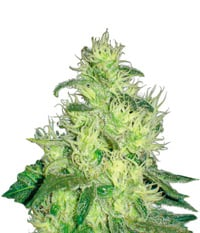 Medical Seeds Canadian Kush