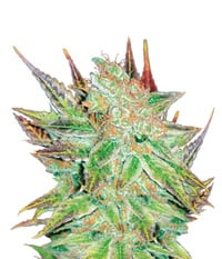 Medical Seeds Prozac