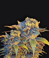 VIP Seeds Colombian Sweet