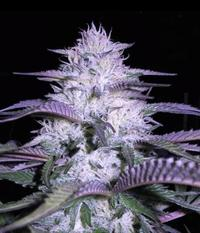 VIP Seeds Currant Kush