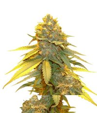 Ganja Seeds Auto Blueberry