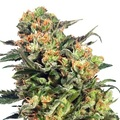 Dutch-passion-armata-skunk-auto