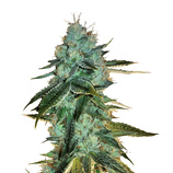 Bulk-seeds-auto-big-bud