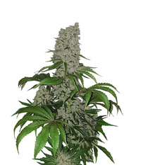 Blk. Seeds Big Bud