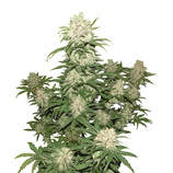 Bulk-seeds-auto-blueberry