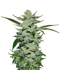 Delicious Seeds Desconocida Kush