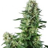 Green-house-seeds-white-widow-cbd-auto