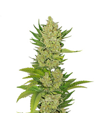 Green House Seeds Exodus Cheese CBD Auto