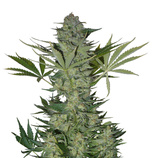 Serious-seeds-white-russian-auto