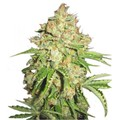 Serious-seeds-white-russian