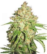 Serious seeds White Russian Reg