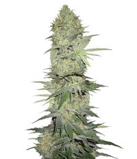Green House Seeds White Widow Auto