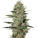 Green-house-seeds-exodus-cheese-automatic