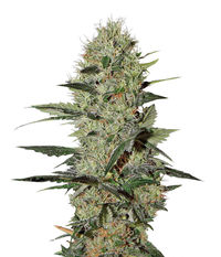 Green House Seeds Exodus Cheese Auto
