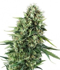 Green House Seeds Super Silver Haze CBD