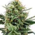 Green-house-seeds-jack-herer-auto