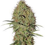 Green-house-seeds-super-bud-auto