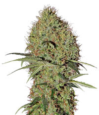 Green House Seeds Super Bud Auto