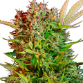 Sweet-seeds-auto-cream-mandarine-xl