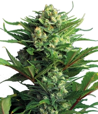 Humboldt Seeds Organization Green Crack