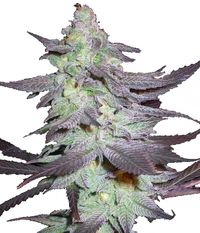 Humboldt Seeds Organization Purple Trainwreck