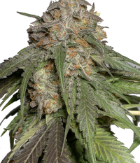 Humboldt Seeds Organization Blueberry Headband