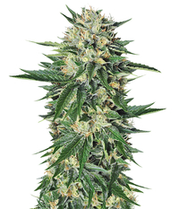 Humboldt Seeds Organization Dr Greenthumb's Em-Dog By B-Real