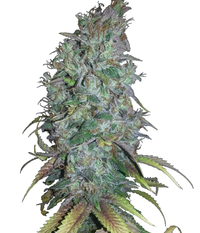 Humboldt Seeds Organization Blue Dream