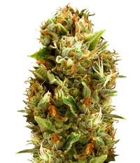 Humboldt Seeds Organization Chemdawg