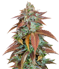 Humboldt Seeds Organization Lemon Kush Headband