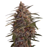 Green-house-seeds-moby-dick