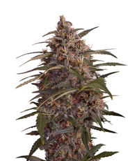 Green House Seeds Moby Dick